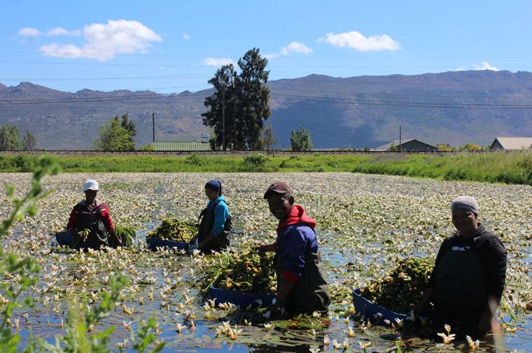 Waterblommetjies Wolseley Cape Winelands